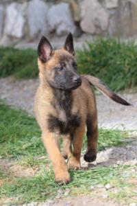 Belgian-Malinois-Puppies-BTWW-H-Litter-180319-0212