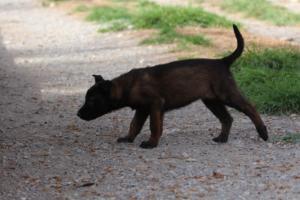 Belgian-Malinois-Puppies-BTWW-H-Litter-180319-0213