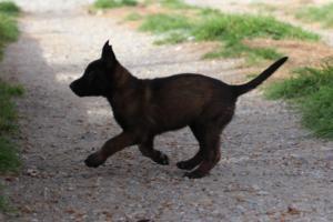 Belgian-Malinois-Puppies-BTWW-H-Litter-180319-0214