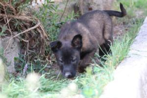 Belgian-Malinois-Puppies-BTWW-H-Litter-180319-0215
