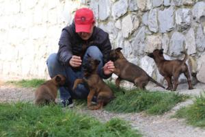 Belgian-Malinois-Puppies-BTWW-H-Litter-180319-0218