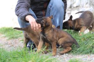 Belgian-Malinois-Puppies-BTWW-H-Litter-180319-0223