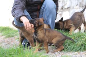 Belgian-Malinois-Puppies-BTWW-H-Litter-180319-0224