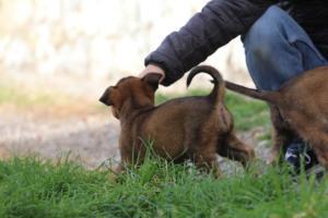Belgian-Malinois-Puppies-BTWW-H-Litter-180319-0226