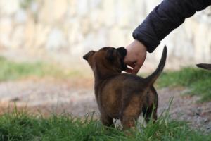 Belgian-Malinois-Puppies-BTWW-H-Litter-180319-0227