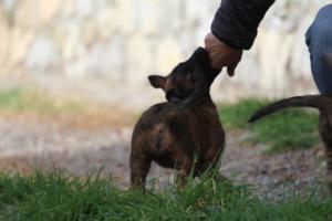 Belgian-Malinois-Puppies-BTWW-H-Litter-180319-0228