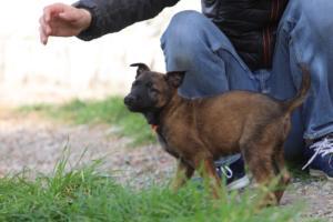 Belgian-Malinois-Puppies-BTWW-H-Litter-180319-0229