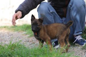 Belgian-Malinois-Puppies-BTWW-H-Litter-180319-0230