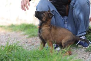 Belgian-Malinois-Puppies-BTWW-H-Litter-180319-0231