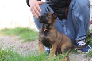 Belgian-Malinois-Puppies-BTWW-H-Litter-180319-0232