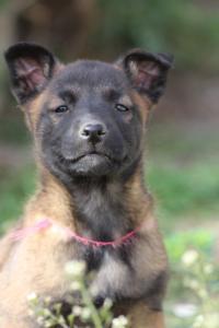 Belgian-Malinois-Puppies-BTWW-H-Litter-180319-0234