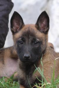 Belgian-Malinois-Puppies-BTWW-H-Litter-180319-0240