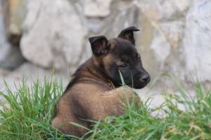 Belgian-Malinois-Puppies-BTWW-H-Litter-180319-0241