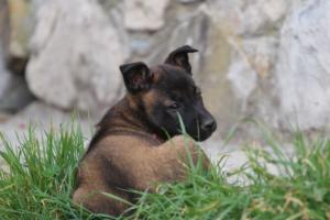 Belgian-Malinois-Puppies-BTWW-H-Litter-180319-0242