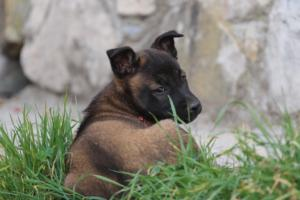 Belgian-Malinois-Puppies-BTWW-H-Litter-180319-0243