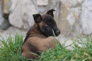 Belgian-Malinois-Puppies-BTWW-H-Litter-180319-0244