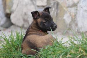 Belgian-Malinois-Puppies-BTWW-H-Litter-180319-0245