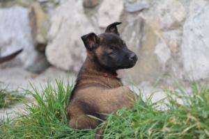 Belgian-Malinois-Puppies-BTWW-H-Litter-180319-0246