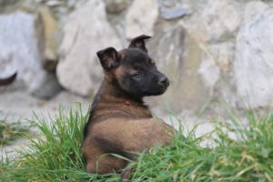 Belgian-Malinois-Puppies-BTWW-H-Litter-180319-0247