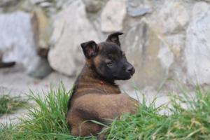 Belgian-Malinois-Puppies-BTWW-H-Litter-180319-0248