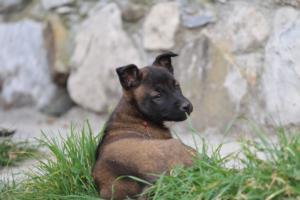 Belgian-Malinois-Puppies-BTWW-H-Litter-180319-0249
