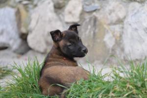 Belgian-Malinois-Puppies-BTWW-H-Litter-180319-0250