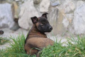 Belgian-Malinois-Puppies-BTWW-H-Litter-180319-0251