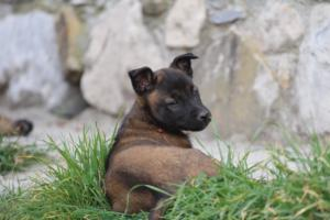 Belgian-Malinois-Puppies-BTWW-H-Litter-180319-0253