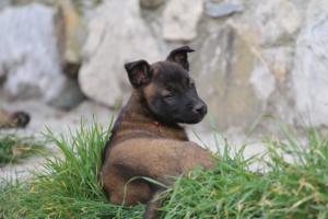 Belgian-Malinois-Puppies-BTWW-H-Litter-180319-0254