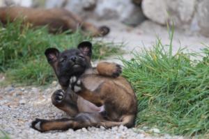Belgian-Malinois-Puppies-BTWW-H-Litter-180319-0256