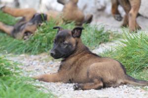 Belgian-Malinois-Puppies-BTWW-H-Litter-180319-0257
