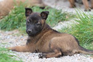 Belgian-Malinois-Puppies-BTWW-H-Litter-180319-0258