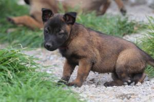 Belgian-Malinois-Puppies-BTWW-H-Litter-180319-0259