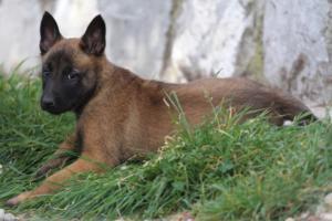 Belgian-Malinois-Puppies-BTWW-H-Litter-180319-0260