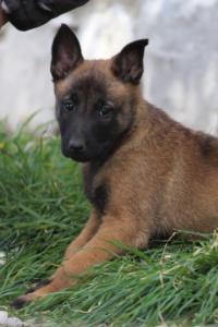 Belgian-Malinois-Puppies-BTWW-H-Litter-180319-0261