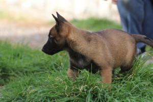 Belgian-Malinois-Puppies-BTWW-H-Litter-180319-0262