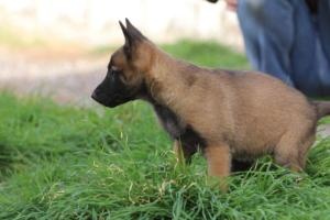 Belgian-Malinois-Puppies-BTWW-H-Litter-180319-0263