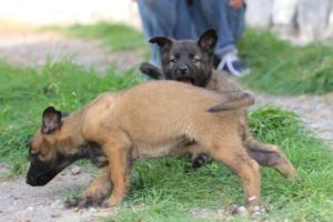 Belgian-Malinois-Puppies-BTWW-H-Litter-180319-0264