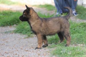 Belgian-Malinois-Puppies-BTWW-H-Litter-180319-0265