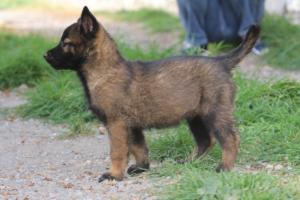 Belgian-Malinois-Puppies-BTWW-H-Litter-180319-0266