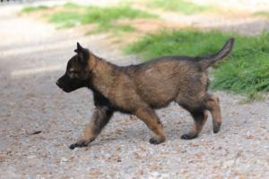 Belgian-Malinois-Puppies-BTWW-H-Litter-180319-0267