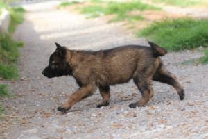 Belgian-Malinois-Puppies-BTWW-H-Litter-180319-0268