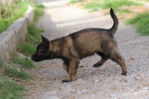 Belgian-Malinois-Puppies-BTWW-H-Litter-180319-0269