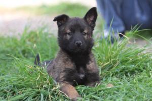 Belgian-Malinois-Puppies-BTWW-H-Litter-180319-0270
