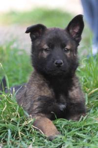 Belgian-Malinois-Puppies-BTWW-H-Litter-180319-0271