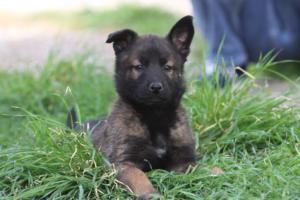 Belgian-Malinois-Puppies-BTWW-H-Litter-180319-0272