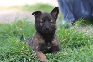 Belgian-Malinois-Puppies-BTWW-H-Litter-180319-0273