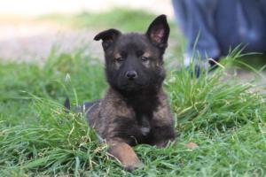 Belgian-Malinois-Puppies-BTWW-H-Litter-180319-0274