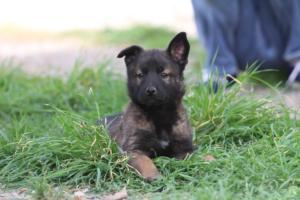 Belgian-Malinois-Puppies-BTWW-H-Litter-180319-0275