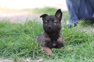 Belgian-Malinois-Puppies-BTWW-H-Litter-180319-0276